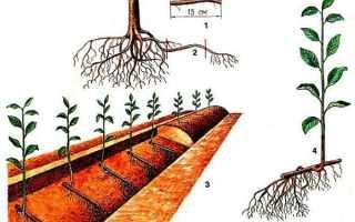 Размножение вишни черенками: как вырастить и размножить, уход после высадки