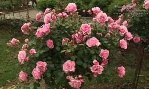 Роза Боника – фото и описание, посадка и уход в открытом грунте