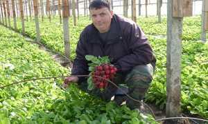 Посадка редиса под зиму в теплице: когда сеять, лучшие сорта, выращивание и уход