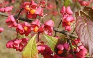Бересклет: ягоды, их фото и строение, ядовитые или съедобные, применение в народной медицине