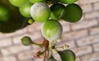 Рак винограда: описание и характеристика болезни, методы борьбы и лечения, можно ли есть больной виноград, фото