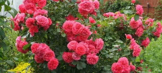 Роза плетистая Симпатия: фото и описание, посадка и уход