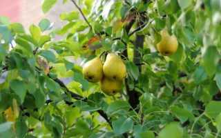 Размножение груши: виды, сроки, особенности посадки и ухода за растениями