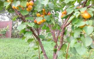 Абрикос Нью-Джерси: описание и характеристика, особенности посадки и ухода за деревом, фото