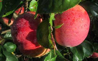 Сорт яблок Свежесть: ботаническое описание и характеристика, оптимальные условия для выращивания, фото
