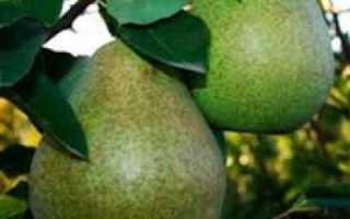 Груша Виктория: описание и характеристика сорта, выращивание и уход, фото
