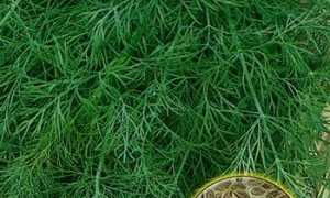 Как быстро прорастить семена укропа: основные методы и способы замачивания семян