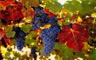Виноград при гастрите: можно ли есть, польза и вред, нормы потребления