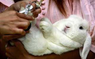 Как подстричь кролику когти в домашних условиях: как сделать это правильно, пошаговая инструкция, видео