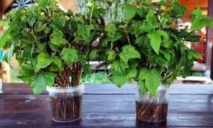 Что можно посадить под кустами смородины в открытом грунте