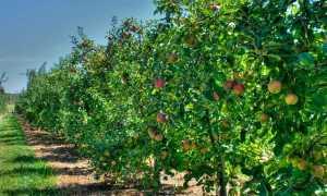 Что можно посадить рядом с облепихой: соседство с другими растениями, можно ли посадить возле плодового дерева, что