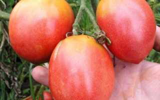 Томат Розовый фламинго: характеристика и описание сорта, фото, урожайность, посадка и уход