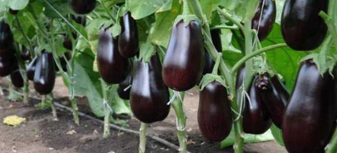 Баклажан Эпик: описание и характеристика, выращивание и уход, урожайность сорта, фото, видео
