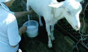 Кровь в молоке у козы: причины появления, лечение и профилактика возможных заболеваний