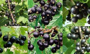 Крупноплодный сорт чёрной смородины Глаз дракона: описание, агротехника, фото