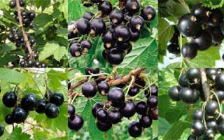 Сор крупноплодной чёрной смородины Илья Муромец: внешний вид, особенности и описание сорта, фото