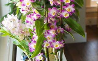 Орхидея дендробиум – уход в домашних условиях, размножение, фото