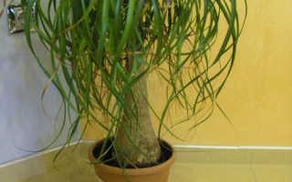 Бокарнея нолина – уход в домашних условиях с фото