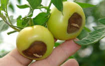 Почему чернеют плоды помидоров – что делать, причины и лечение
