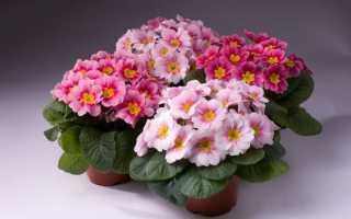 Примула комнатная: уход и выращивание в домашних условиях, фото, как ухаживать за комнатным цветком, выбор грунта