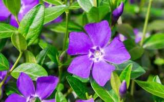 Барвинок комнатный: уход и выращивание из семян, посадка цветка, фото комнатного растения