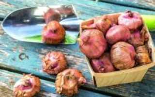 Как и когда посадить луковицы гладиолусов правильно в открытом грунте, подготовка к посадке