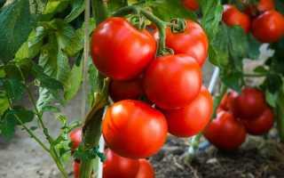 Томат «Татьяна»: характеристика и описание сорта, фото, урожайность, посадка и уход