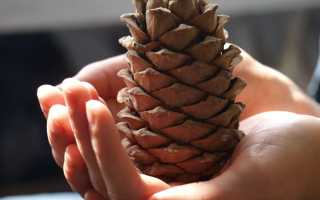 Когда можно собирать шишки кедра: в какое время поспевают кедровые орехи, в каком месяце лучше собирать, когда
