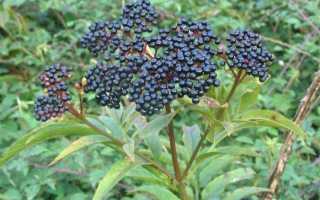 Варенье из бузины чёрной: польза и вред, лечебные свойства, как приготовить из цветков, рецепт