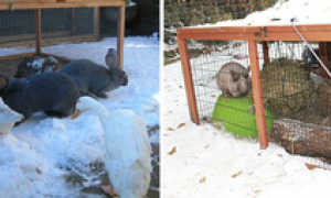 Содержание кроликов зимой на улице в клетках: комфортная температура, размножение