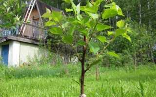 Прививка абрикоса на сливу: особенности, способы, сроки, пошаговая инструкция