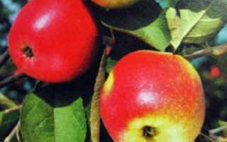 Яблоня Сибирская красавица: ботаническое описание, характеристика, посадка, выращивание и уход, фото