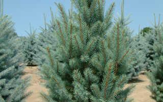 Eль Изели Фастигиата (Picea pungens Iseli Fastigiate): описание, фото, дерево в дизайне сада, посадка и уход