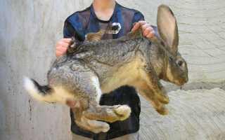 Крупные породы кроликов: названия и описание с фотографиями, особенности содержания и кормления