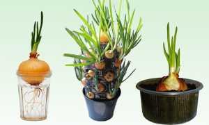 Посадка зелёного лука в полиэтиленовом пакете: в опилки, без земли, как вырастить в домашних условиях