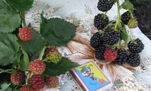 Ежевика сорта Оркан: описание с фото, преимущества и недостатки, отзывы садоводов