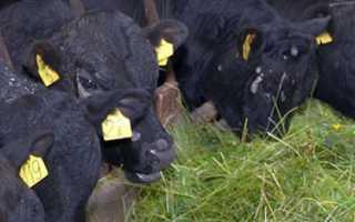 Разведение быков на мясо для начинающих: в домашних условиях, выращивание как бизнес, плюсы и минусы, видео