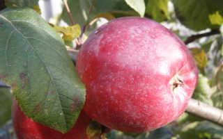 Яблоня Либерти: характеристика сорта, основные отличия, особенности выращивания и ухода, фото