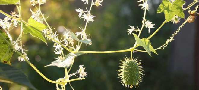 Бешеный огурец – название и описание как выглядит – выращивание и уход