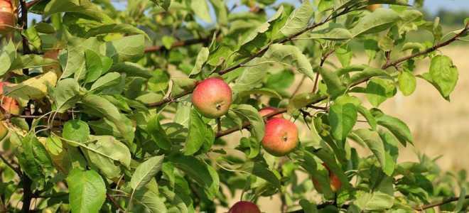Продолжительность жизни яблони: основные факторы, влияющие на жизнь, периоды жизненного цикла