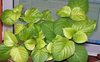 Уход за гортензией в августе: что делать, как ухаживать за цветком правильно, болезни и вредители