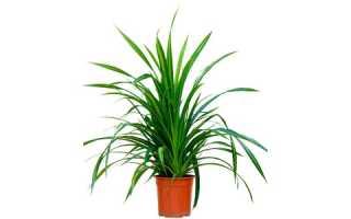 Панданус (винтовая пальма): уход в домашних условиях, фото, можно ли держать дома, размножение, приметы и суеверия