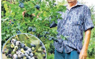 Как и где растёт голубика, посадка и уход в открытом грунте в Краснодарском крае