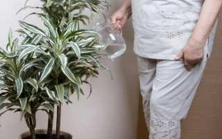 Как правильно поливать драцену в домашних условиях: сколько раз и как часто, основные правила