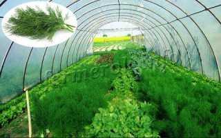 Выращивание укропа в теплице: подходящие сорта, посадка и уход