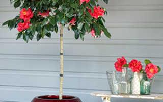 Камелия – описание с фото, выращивание и уход в домашних условиях