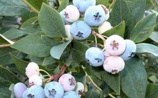 Голубика садовая Эллиот: описание сорта, фото, посадка и уход, полезные свойства и противопоказания