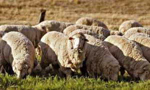 Овца породы Меринос: происхождение, характеристика, правила и особенности содержания