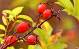 Шиповник майский Яблочный: описание и фото, полезные и лечебные свойства, противопоказания
