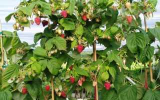 Малина Патриция: описание сорта, преимущества и недостатки, урожайность, фото, отзывы